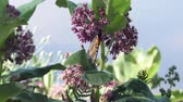 monarch butterflies feed on swamp milkweed