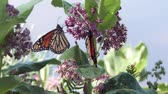 бабочки : monarch butterfly feed on swamp milkweed