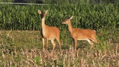 alerta : white tailed deer feed in a field