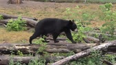 young black bear walking on a log