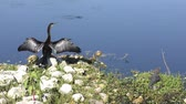 anhinga and baby alligator sunning near lake
