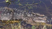 crocodilo : mother alligator with her babies