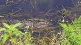 crocodilo : baby alligator jumped out of its mother head Stock Footage