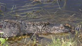mother alligator with her babies