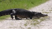 large alligator with one leg missing crossing a trail Stok Video