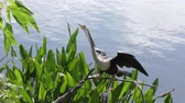 anhinga bird female perched near lake