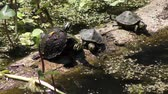 Florida Turtles Sunning On A Log in einem Sumpf