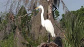 empoleirar : Great Egret feeds in Florida wetlands Stock Footage