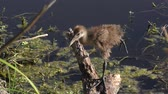 aves : limpkin chick perched on a branch near lake