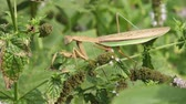 large praying mantis on a plant