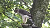 empoleirar : Coopers hawk feeds on bird on a branch