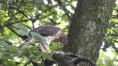 Coopers hawk feeds on bird on a branch