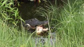 crocodilo : alligator with a fish hiding in a swamp Stock Footage