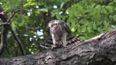 орел : Coopers hawk feeding on chipmunk on a branch Стоковые видеозаписи