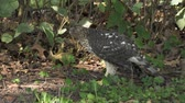 predador : Coopers hawk eats its prey on the ground Stock Footage