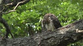 empoleirar : Coopers hawk feeding on chipmunk on a branch Stock Footage