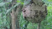 kraliçe : Big Wasp looking for food give Larva on wasp nest motion video footage
