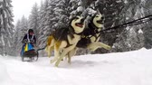 únor : BELIS, ROMANIA - FEBRUARY 6: Unidentified man participating in the First Dogsled Racing Contest with Husky dogs