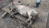 slaughtering : Slaughter burn the pig hair off with a gas burner before butchering