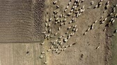 kuzu : Aerial drone 4k view of herd of sheep grazing in a meadow in the spring