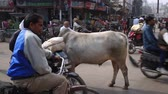 varanasi : Varanasi, India, December 2015. A cow in the midst of the heavy traffic of all kinds of vehicles and people. Stock Footage