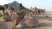 Pushkar, Rajasthan, India, November 2011: A large group of animals at the Camel Fair. Wideo