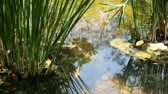 waterplant : Gold fish in a pond with a water plants