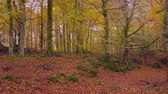 Colored forest in autumn Stock Footage
