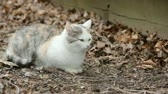 grey : Feral cat sitting in dried leaves.
