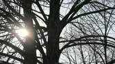 nebe : Spring sun through the branches of a bare linden tree.