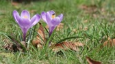 мухи : Fly visits spring crocus flower.