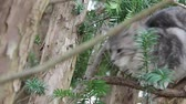 grey : Feral kitty in tree looking at camera, then looking away. Wideo