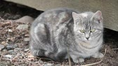grey : Feral cat, between 6-8 months old, sitting by shed.