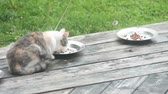 grey : Dilute Calico feral cat, about 8-10 months old, eating dry food on backyard deck. Wideo