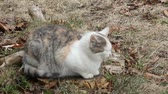 grey : Pregnant Feral cat, about 8-10 months old, sitting calmly. Wideo