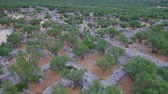 aerial footage of olive grove