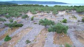 Aerial  footage of Ancient olive groove on an island
