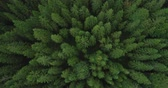 cam : 4k aerial view of spruce tree forest in late summer  - environment conceptual Stok Video
