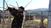 bağcılık : vine grower pruns vine branches for new season in late winter Stok Video