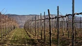 Vineyard in winter half of it have laready cut branches ready for new season
