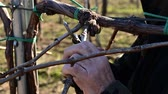 winemaker prunning vines in vineyard on early spring afternoon 動画素材
