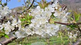 prune : Cherry tree blooming in early spring - white blossoms bathing in sun