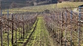 buda : Vineyard in winter half of it have laready pruned branches ready for new season