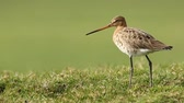 A black-tailed godwit Limosa Limosa Just returned for this season and walks elegantly on farmland with afternoon sunlight in front of him