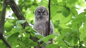 A tawny owl or brown owl Strix aluco chick in a tree, his plumage is still fluffy.