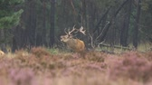 Male red deer Cervus elaphus rutting constantly breeding season. Its raining in the forest, the heather is blooming purple flowers.