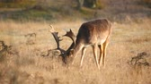 Fallow deer (Dama dama) stag resting and grazing in a meadow. The early morning sunlight and natural colors are Clearly visible on the background. Стоковые видеозаписи