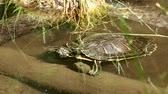 filé : Swamp turtle swimming in the water