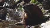 bóbr : Beaver cleaning herself at the water Wideo