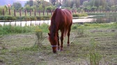 sağlam : A horse grazing near the lake Stok Video